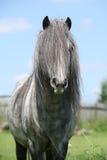 Trevlig welsh ponny på betesmark Royaltyfri Bild