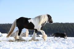 Trevliga border collie som spelar med en häst royaltyfri fotografi