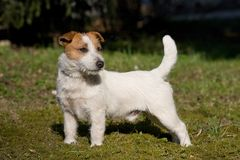 Trevliga Jack Russel Terrier arkivbilder