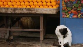 Trevliga katter som bor i den utomhus- marknaden och att sitta under fruktställning och korgar stock video