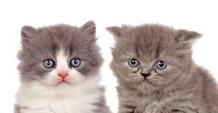 Trevliga par av gråa kattungar Royaltyfri Foto