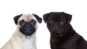 Trevliga par av mopshundkapplöpning Fotografering för Bildbyråer