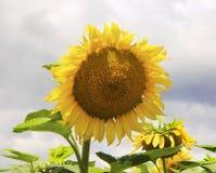 trevliga solrosor Royaltyfria Foton