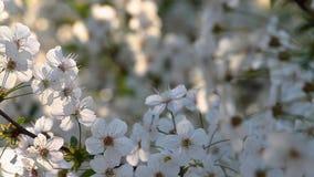 Trevliga sura körsbärsröda blommor på våren med spåring