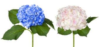 Trevliga vita och blåa vanliga hortensior Royaltyfri Bild