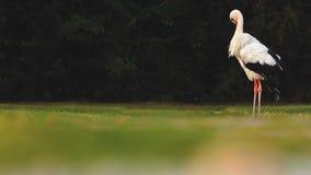 Trevligt anseende för vit stork på fältet och göra ren fjäderdräkten lager videofilmer