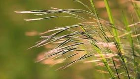 Trevligt gräs, ängfescue, i ett solnedgångljus på vår på ängen lager videofilmer
