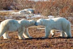 Trevligt handlag av den vänliga isbjörnen Arkivfoto
