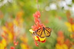 Trevligt kryp från Mexico Fjäril i orange blommor Monark Danausplexippus, fjäril i naturlivsmiljö fotografering för bildbyråer