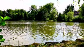 Trevligt lantligt damm med svanar lager videofilmer