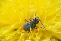 Trevligt litet fel i trevlig gul blomma fotografering för bildbyråer