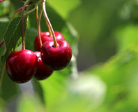 Trevligt rött Cherry på sommargreentreen royaltyfria bilder