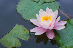 trevligt rosa vatten för lilja Royaltyfria Foton