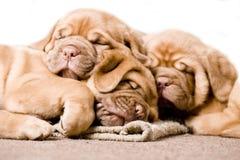 trevligt sova för valp Arkivbild