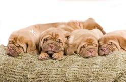 trevligt sova för valp Royaltyfri Bild