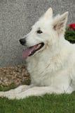 Trevligt vitt schweizareherdeDog ligga Arkivbild