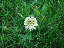 Trevo branco na grama Imagem de Stock Royalty Free