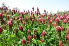 Trevo carmesim (incarnatum do Trifolium) Fotografia de Stock Royalty Free
