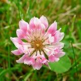 Trevo cor-de-rosa Fotografia de Stock