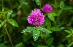 Trevo cor-de-rosa (pratense do trifolium) Imagens de Stock Royalty Free