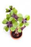 Trevo de quatro folhas foto de stock