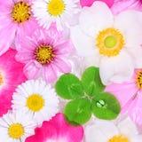 Trevo de quatro folhas com fundo da flor Fotografia de Stock Royalty Free