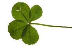 Trevo de quatro folhas isolado no fundo branco Imagens de Stock