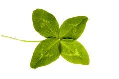 Trevo de quatro folhas isolado no fundo branco Foto de Stock Royalty Free