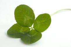 Trevo de quatro folhas no branco Imagens de Stock