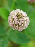 trevo Delicado-cor-de-rosa Imagem de Stock