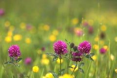 Trevo do prado do Wildflower Imagem de Stock Royalty Free