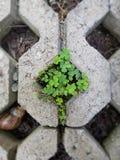 Trevo no assoalho de pavimentação Fotografia de Stock