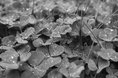 Trevo preto e branco Imagem de Stock