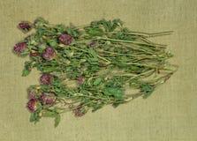 trevo, trefoil Seque ervas Fitoterapia, medici phytotherapy Imagens de Stock Royalty Free