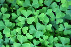 Trevo verde Imagem de Stock Royalty Free