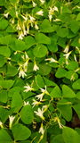 Trevo verde Oxalis fotografia de stock