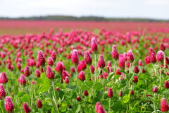 Trevo vermelho de florescência Imagem de Stock Royalty Free