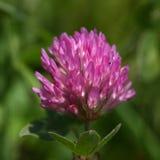 Trevo vermelho (pratense do trifolium) Fotografia de Stock Royalty Free