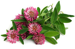 Trevo vermelho (pratense do Trifolium) foto de stock