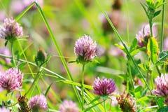 Trevos da flor Imagens de Stock
