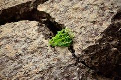Trevos na rocha Foto de Stock