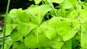Trevos verdes Fotografia de Stock