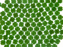 Trevos verdes em um fundo branco Foto de Stock