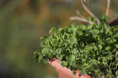 Trevos verdes em um potenciômetro em um dia ensolarado Fotografia de Stock Royalty Free