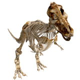 TRex Bones - 02. The skeleton of a Tyrannosaurus Rex from different views Stock Photos