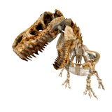 TRex Bones - 03 Royalty Free Stock Photo