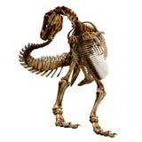 TRex Bones - 06 Stock Photo