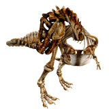 TRex Bones - 07. The skeleton of a Tyrannosaurus Rex from different views. This time he chases his tail and catches it Stock Photos