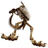TRex Bones - 09 Royalty Free Stock Photo