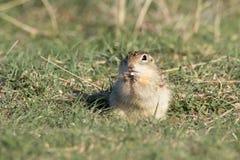 Treze alinharam o esquilo à terra na pradaria que come a grão Foto de Stock Royalty Free